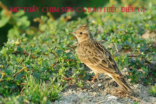 Giải mã giấc mơ thấy chim sơn ca