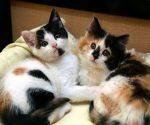 Mèo vào nhà là điềm báo gì? hên hay xui?