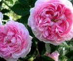 Mơ thấy hoa hồng là điềm báo điều gì?